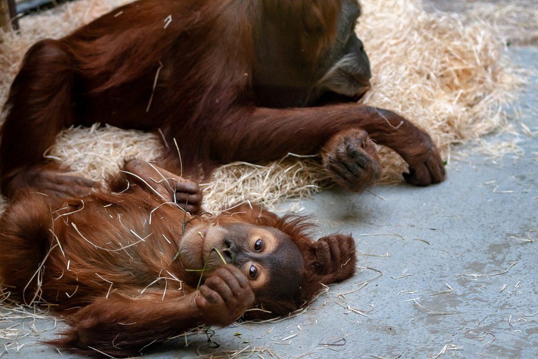 Apentweeling van ernstig bedreigde soort geboren in Diergaarde Blijdorp